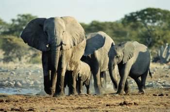 壁纸 大象 动物 350_231