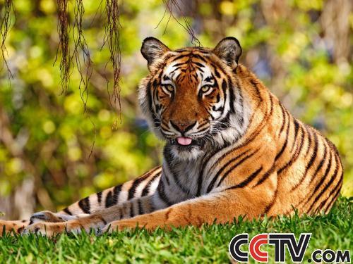 森林里的老虎图片
