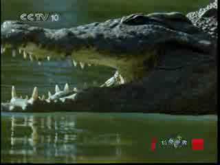 尼罗河巨鳄