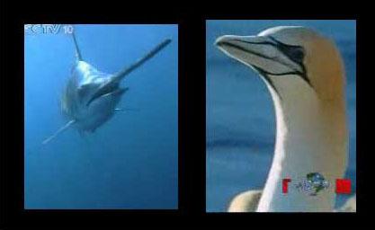 鲱鸟和旗鱼的海空立体战