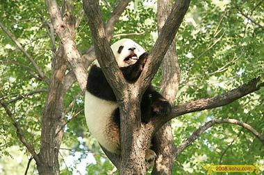 """Olympic Pandas"" come out to welcome tourists during the Games in Beijing Zoo"