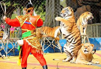 A lion and several tigers stage a performance under the guidance of an animal trainer to send blessings to tourists in Nanning zoo, in southwest China's Guangxi Zhuang Autonomous Region, on Saturday, January 31, 2009. [Photo: Xinhua]