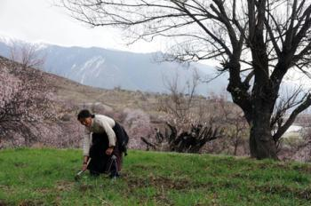 Villager Zhoema of the Tibetan ethnic group works in the field at the bank of the Nyang River in Nyingchi of southwest China's Tibet Autonomous Region, March 8, 2009. Peach trees have blossomed to welcome the spring season in the area.(Xinhua/Ye Hui)