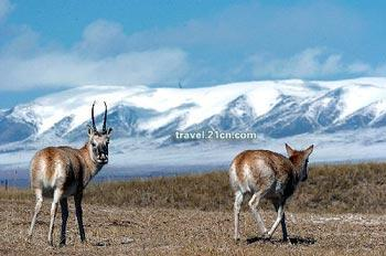 Over the past 20 years, Tibet has seen significant progress in protecting its wildlife and environment.