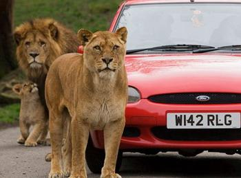 The pride of lions at Knowlsey Safari Park in Merseyside circle the Ford, while keeping a close eye on the camera.