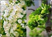 Flowers of Chinese<br>scholartree & Elm<br>Trees