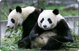 Mainland Sends Panda Gift to Taiwan