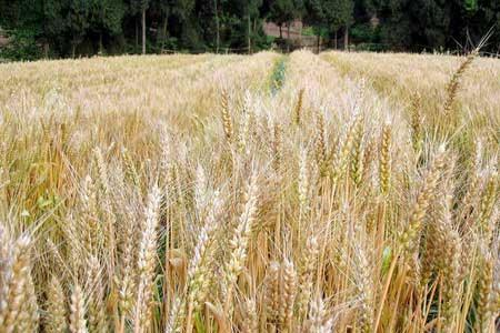 Urban families are invited to harvest wheat
