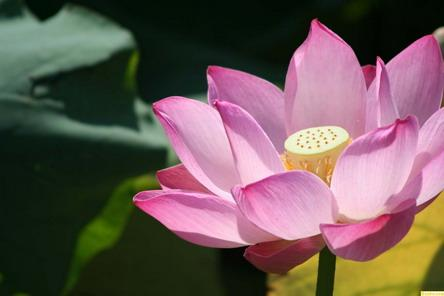 The 13th Lotus Flower Show opens at Beihai Park