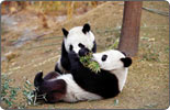 Japan-born panda twins come home
