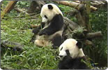 Spain welcomes pandas from China