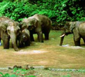 China - Wild herds of elephants in Xishuangbanna