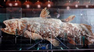 Photo taken on May 10, 2009 shows the fossil of a coelacanth displayed at the Grand Kawanua Convention Center in Manado, Indonesia. Coelacanth, known as the living fossil, is the common name for an order of fish that includes the oldest living lineage of jawed fish known to date. The coelacanths were believed to have gone extinct some 70-80 million years ago until a live specimen was found off the east coast of South Africa in 1938. Since then these fish have been found and caught in Madagascar, Mozambique, Tanzania, Kenya, the Comoros and Indonesia. (Xinhua photo)