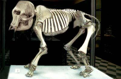 Prehistoricpygmyelephant,discoveredinGħarDalam
