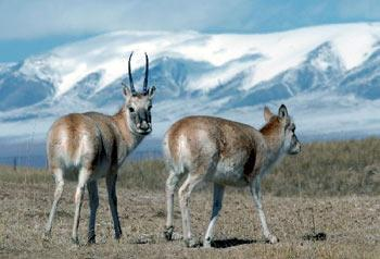 The population of Tibetan antelopes in Hol Xil, a key nature reserve in northwest China for the endangered animal, has increased to 60,000 from less than 20,000 in 10 years.