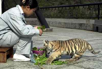 大连森林动物园的工作人员为让小虎