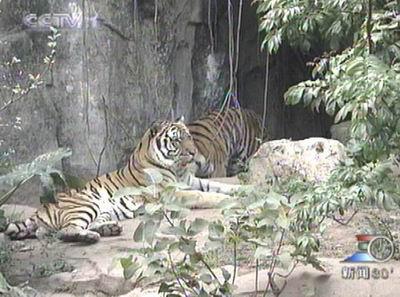 广州动物园的两只华南虎幼崽一出生就成为了华南