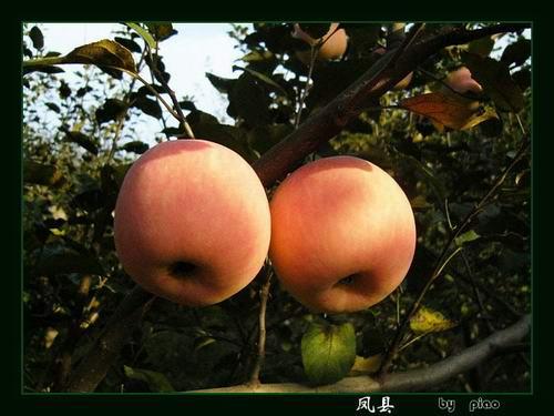 苹果粉红粉红的,非常漂亮!