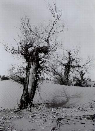 姿态百异的胡杨树