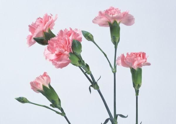 康乃馨象征母爱是慰问母亲之花, 宜在母亲节和母亲生日时赠送; 去