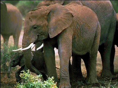 现存最大的陆生哺乳动物——非洲象