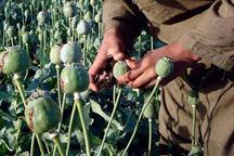 Anti-opium drive hurts Afghan economy
