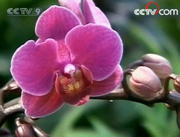 Orchids spring to mind when one thinks of Taiwan's natural beauty. The flower abounds here in great variety.(Photo: CCTV.com)