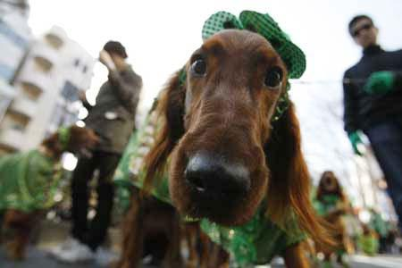 People and their dogs participate in a parade to celebrate Saint Patrick's Day in Tokyo March 15, 2009. The organization Irish Network Japan, which aims to introduce its culture to the local people, is holding similar parades in other cities throughout Japan as well. (Xinhua/Reuters Photo)