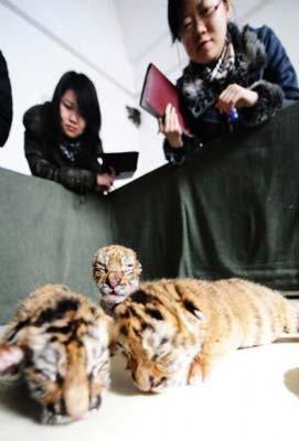 Journalists look at new-born Siberian tigers at a Siberian tiger artificial propagation center in Harbin, capital of northeast China's Heilongjiang Province, March 15, 2009. Three baby Siberian tigers are artificial fed now as their mother is lack of milk after gaving birth. [Photo: Xinhua]
