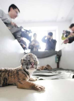 Journalists take photos of new-born Siberian tigers at a Siberian tiger artificial propagation center in Harbin, capital of northeast China's Heilongjiang Province, March 15, 2009. Three baby Siberian tigers are artificial fed now as their mother is lack of milk after gaving birth. [Photo: Xinhua]