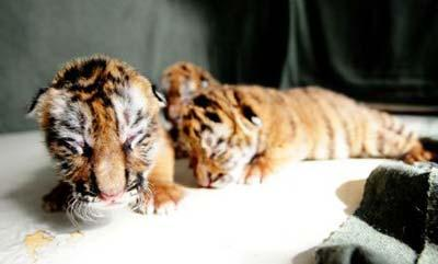 New-born Siberian tigers are seen at a Siberian tiger artificial propagation center in Harbin, capital of northeast China's Heilongjiang Province, March 15, 2009. Three baby Siberian tigers are artificial fed now as their mother is lack of milk after gaving birth. [Photo: Xinhua]