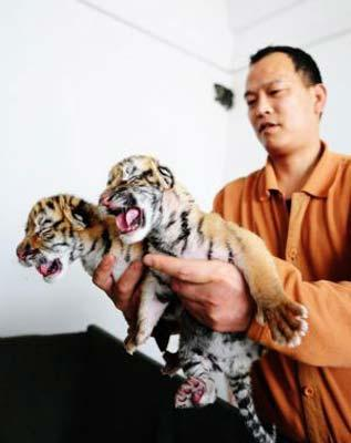 A keeper holds two new-born Siberian tigers at a Siberian tiger artificial propagation center in Harbin, capital of northeast China's Heilongjiang Province, March 15, 2009. Three baby Siberian tigers are artificial fed now as their mother is lack of milk after gaving birth. [Photo: Xinhua]