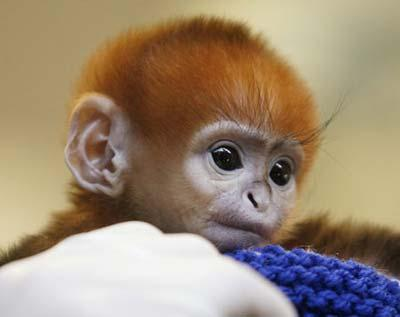 Elke, a five-day-old Francois Langur, makes her media debut at Taronga Zoo's Wildlife Hospital in Sydney March 24, 2009. Taronga's keepers have decided to hand-raise the monkey after she was rejected by her mother. (Xinhua/Reuters Photo)