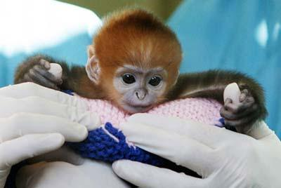 Elke, a five-day-old Francois Langur, makes her media debut at Taronga Zoo's Wildlife Hospital in Sydney March 24, 2009.(Xinhua/Reuters Photo)