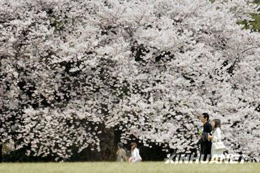 Cherry blossoms in the gardens of Shinjuku Gyoen, Shinjuku, Tokyo have reached full bloom, attracting numerous tourists from home and abroad. Each March and April, more than 70 species of cherry blossoms turn the famous tourist resort into a sea of flowers. [Photo:Xinhuanet]
