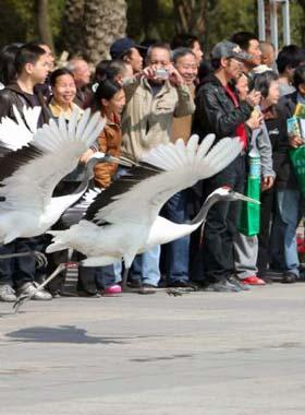 People watch a bevy of red-crowned cranes on the Century Square, during the initiation ceremony of the 2009 National Bird-Loving Week, in Wenzhou City, east China's Zhejiang Province, April 10, 2009. With the theme of Concerning on Birds and Protection of Nature, the 2009 Bird-Loving Week is slated from April 10 to 16. (Xinhua/Zhuang Yingchang)