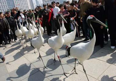 A bevy of red-crowned cranes stalk on the Century Square, during the initiation ceremony of the 2009 National Bird-Loving Week, in Wenzhou City, east China's Zhejiang Province, April 10, 2009. With the theme of Concerning on Birds and Protection of Nature, the 2009 Bird-Loving Week is slated from April 10 to 16. (Xinhua/Zheng Peng)