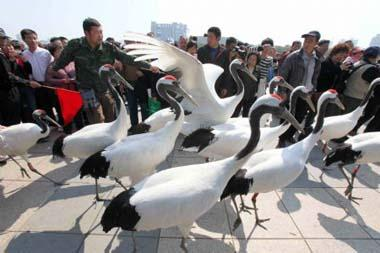 A bevy of red-crowned cranes stalk on the Century Square, during the initiation ceremony of the 2009 National Bird-Loving Week, in Wenzhou City, east China's Zhejiang Province, April 10, 2009. With the theme of Concerning on Birds and Protection of Nature, the 2009 Bird-Loving Week is slated from April 10 to 16. (Xinhua/Zhuang Yingchang)