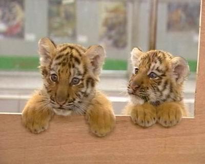 为两只小老虎征集