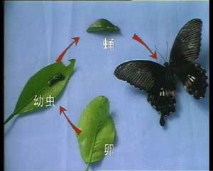 蝴蝶的故事 - dinglai525 - 丁来工艺品厂