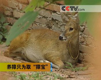 野生动物獐子图片