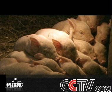 com-猪为什么贪睡; 小猪睡觉_小猪睡觉图片,小猪睡觉简谱; 家猪养殖