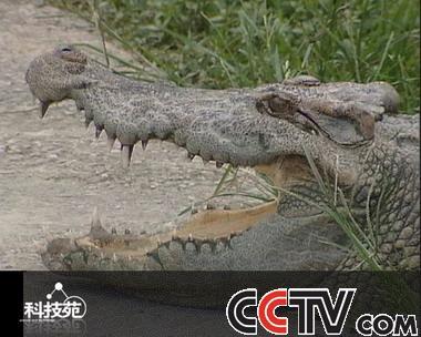 所以只要轻轻拉住鳄鱼的尾巴只要鳄鱼允许也是可以的