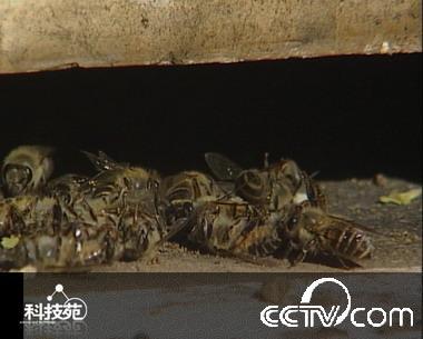又到一年冬眠时(4):蜜蜂