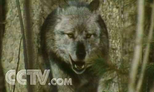... 狼 常州 博物 馆 狼 我 爱 遇到 狼 在 黄石 国家 公园