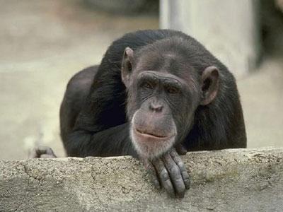 人以外最聪明的动物,黄炜这次要亲自出马挑战黑猩猩