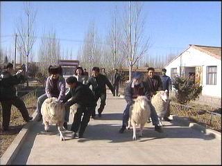 解说男:这羊我见识的多了