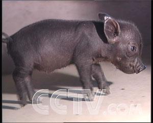 梦见两个黑猪在配种