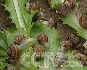 能赚钱的香草蜗牛 - 农业天地 - 农业天地的博客