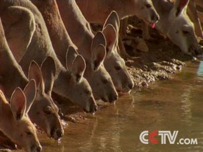 在澳大利亚,野生动物随处可见